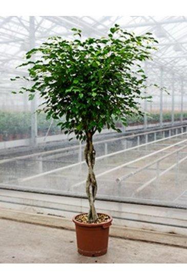 Ficus Benjamina - Vijgenboom