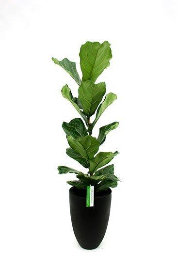 Ficus Lyrata in Capi Tutch zwarte plantenbak