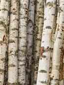 Decowood Birch trunks