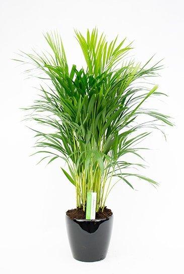 Areca in Lechuza Classico zwarte plantenbak