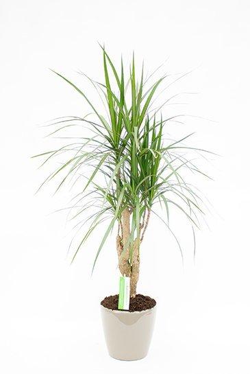 Dracaena Marginata in Lechuza Classico Taupe plantenbak