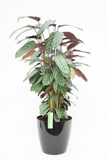 Calathea Compactstar in Artevasi San Remo plantenbak