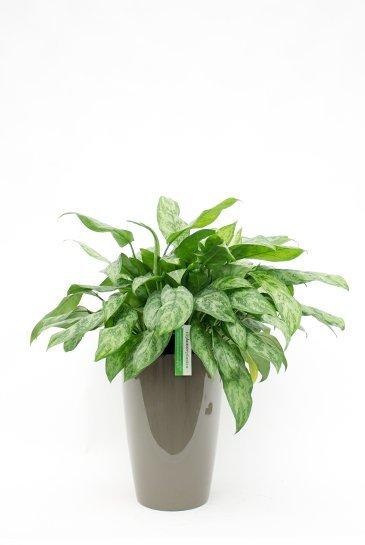 Aglaonema in Artevasi Santorini taupe plantenbak