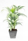 Palm Kentia in Artstone Ella