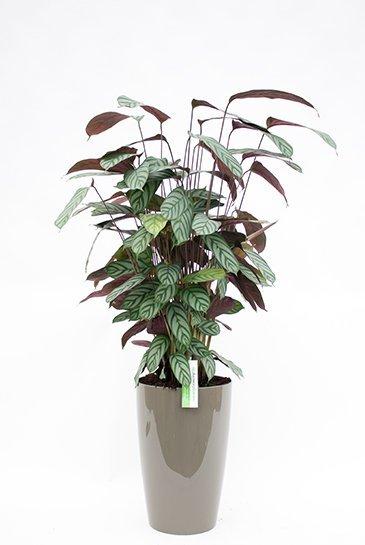 Calathea Compactstar in Artevasi Santorini plantenbak