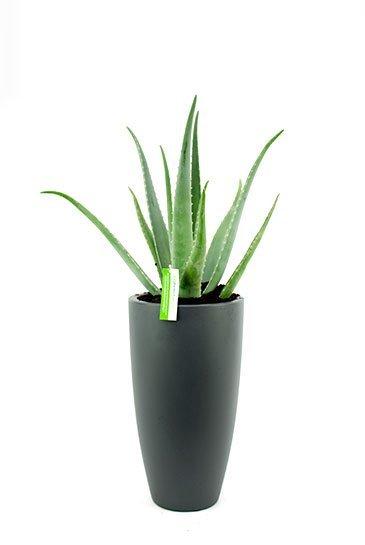 Aloe Vera in Elho Pure Soft Antraciete plantenbak
