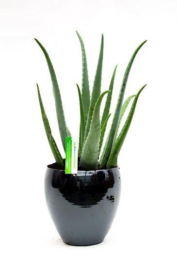 Aloe Vera in Amora Metal Blue plantenbak