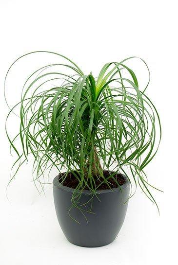 Beaucarnea in Elho Pure Soft grijze plantenbak