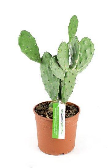 Cactus Opuntia Vulgaris - Schijfcactus