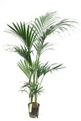 Kentia Howea Forsteriana