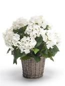 Kunstplant Hortensia White