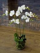 Kunstplant Phalaenopsis plant w. moss white