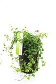 Ficus Repes Sunny