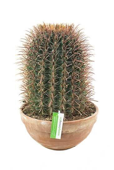 Ferocactus Stainesii - Melocactus
