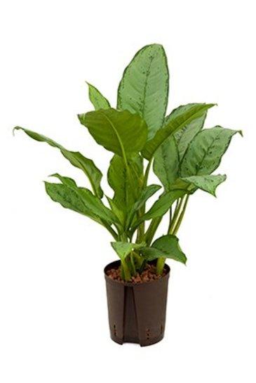 Aglaonema Freedman (Chinese Evergreen) - Hydroplant