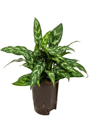 Aglaonema Maria (Chinese Evergreen) - Hydroplant