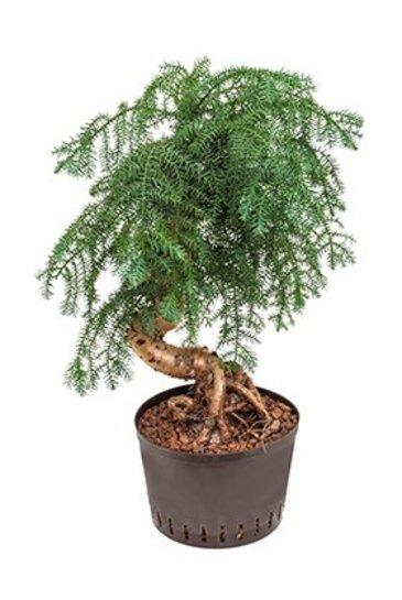 Araucaria Cunninghamii (Puzzle Tree) - Hydroplant
