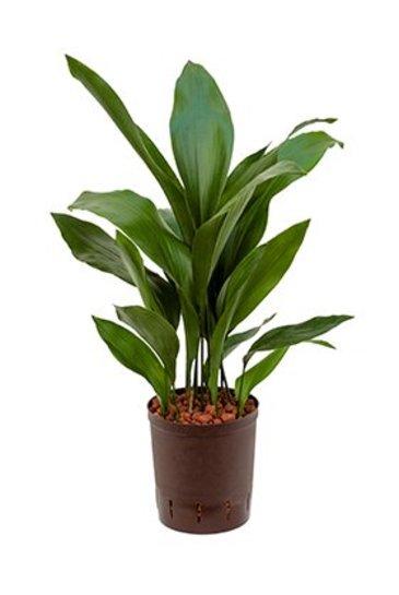 Aspidistra Elatior (Kwartjesplant) - Hydroplant