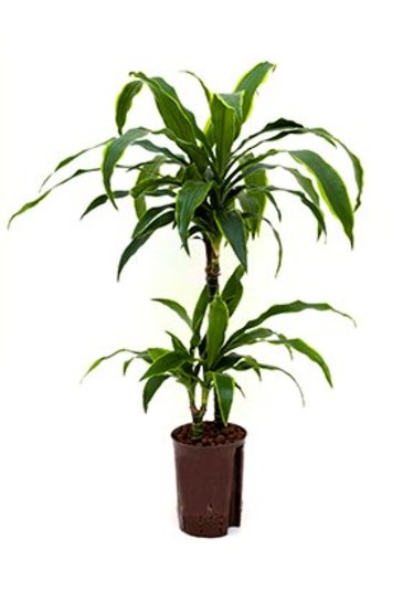 Dracaena Arturo (Drakenboom) - Hydroplant