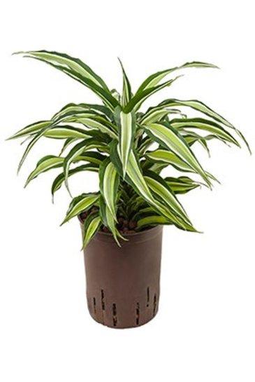 Dracaena Compacta Malaika (Drakenboom) - Hydroplant