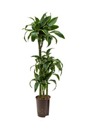 Dracaena Dorado (Drakenboom) - Hydroplant