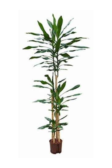 Dracaena Fragrans (Drakenboom) - Hydroplant