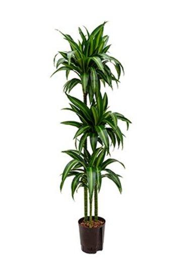 Dracaena Hawaiian Sunshine (Drakenboom) - Hydroplant