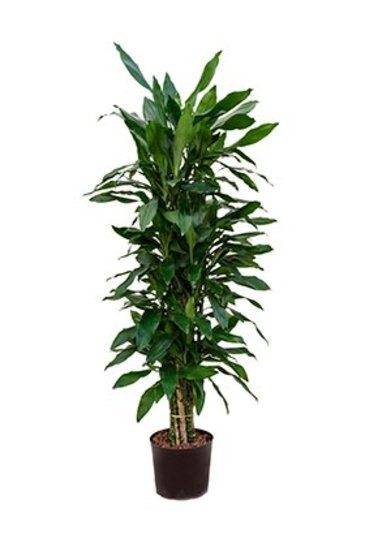 Dracaena Janet Lind (Drakenboom) - Hydroplant
