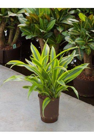 Dracaena Lemon Lime (Drakenboom) - Hydroplant