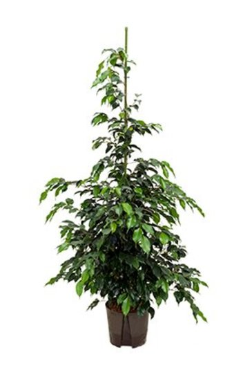 Ficus Danielle (Vijgenboom) - Hydroplant