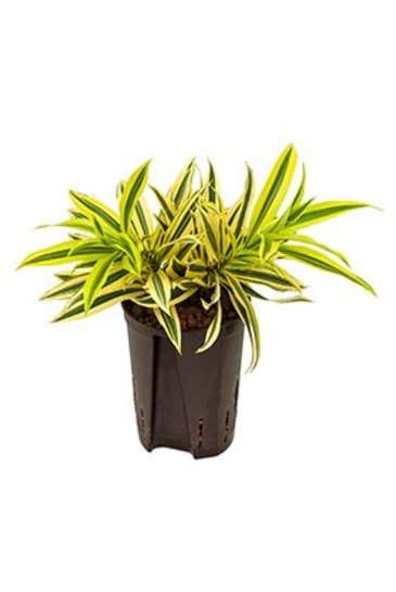 Dracaena Pleomele Song Of India (Drakenboom) - Hydroplant