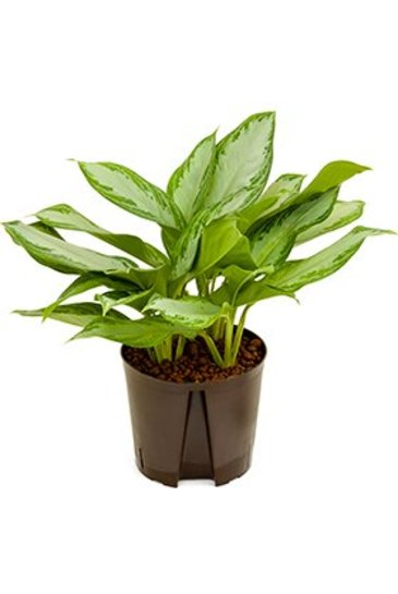 Aglaonema Silver Bay (Chinese Evergreen) - Hydroplant