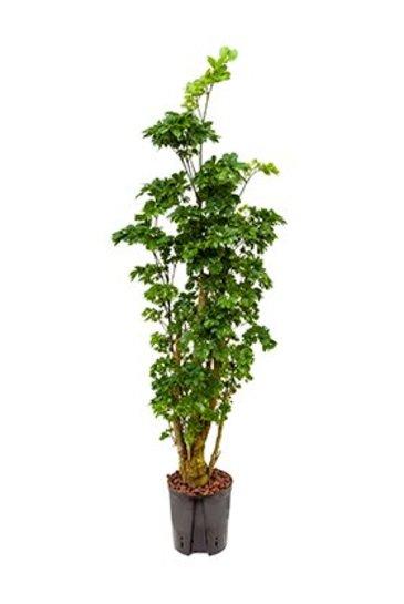 Aralia Roble (Polyscias) - Hydroplant