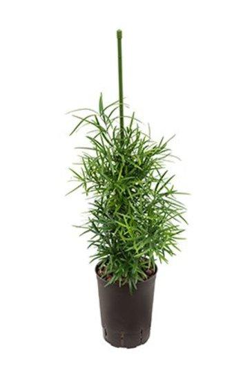 Asparagus Falcatus (Sierasperge) - Hydroplant