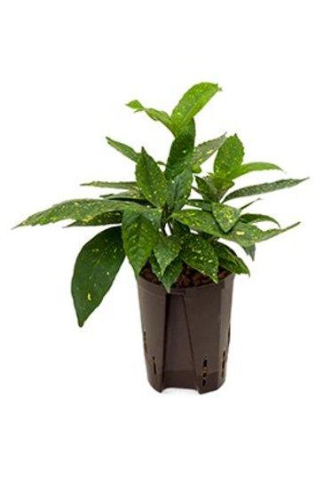 Aucuba Japonica Variegata - Hydroplant