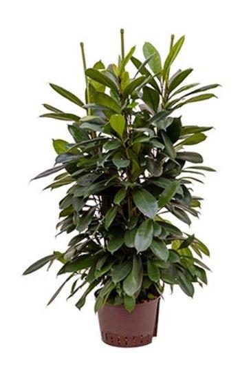 Ficus Cyathistipula (Vijgenboom) - Hydroplant