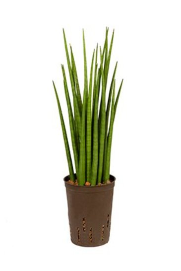 Sansevieria Spikes (Wijventong) - Hydroplant