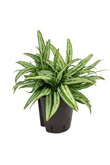 Aglaonema Cutlass (Chinese Evergreen) - Hydroplant