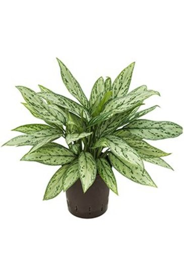 Aglaonema Silver Queen (Chinese Evergreen) - Hydroplant