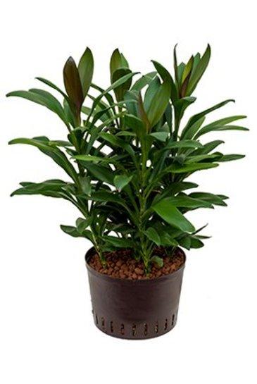 Cordyline Glauca (Hawaiian Ti Plant) - Hydroplant