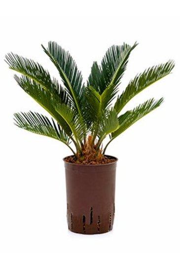 Cycas Revoluta (Vredespalm) - Hydroplant