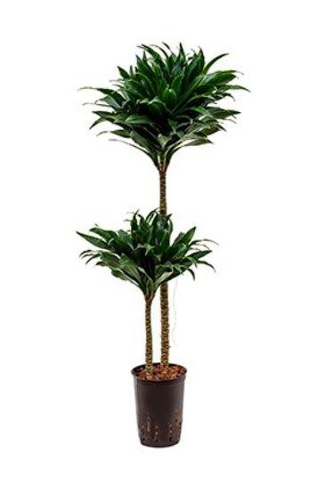 Dracaena Compacta (Drakenboom) - Hydroplant