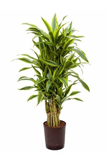 Dracaena Lemon Lime (Drakenboom) - Hydroplant