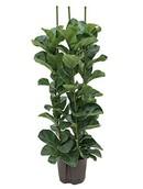 Ficus Lyrata Bambino
