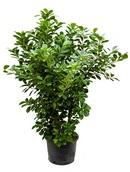 Ficus Moclama