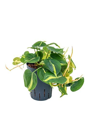 Philodendron Grand Brasil (Phileo) - Hydroplant