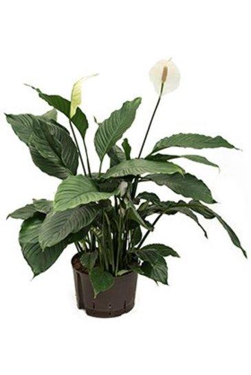 Spathiphyllum Gokyo (Lepeltjesplant) - Hydroplant