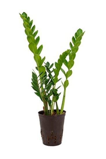 Zamioculcas Zamiifolia (Emeraldpalm) - Hydroplant