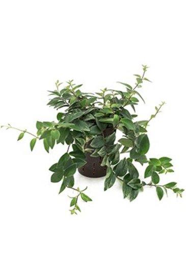 Aeschynanthus Lobbianus (Dansende Jood) - Hydroplant
