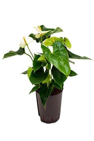 Anthurium Sharade White (Flamingoplant) - Hydroplant